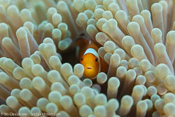 BD-130330-Tulamben-8171-Amphiprion-ocellaris.-Cuvier.-1830-[Clown-anemonefish].jpg